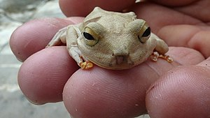 Lebrija River - Emerald-eyed tree frog (Hypsiboas crepitans)