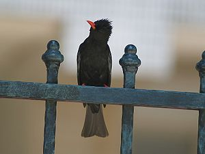 Black bulbul - Individual at Botanical Garden in the city of Taipei