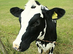 Milk -  The Holstein Friesian cattle is the dominant breed in industrialized dairy farms today