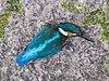IJsvogel (Alcedo atthis). Raamslachtoffer. (d.j.b.) 03.jpg