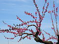 "IM"" 13 - ITALY - Peaches in bloom - spring flowers of tree fruit 06 Prunus persica.JPG"