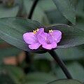 IMG 5708-Tradescantia brevifolia.jpg