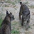 Iberian lynx meeting.jpg