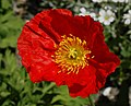 Iceland Poppy Papaver nudicaule 'Champagne Bubbles' Red Flower.jpg