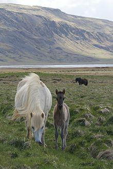 Icelandic horse - Wikipedia