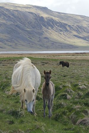 Icelandic horse - An Icelandic mare and foal
