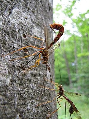 Parasitoid wasp - Image: Ichneumon wasp (Megarhyssa macrurus lunato) (7686081848)