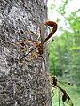 Ichneumon wasp (Megarhyssa macrurus lunato) (7686081848).jpg