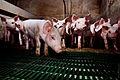 Igualdad Animal - Investigación Granjas Cerdos Toledo - Mayo 2010 1358 (6992273142).jpg