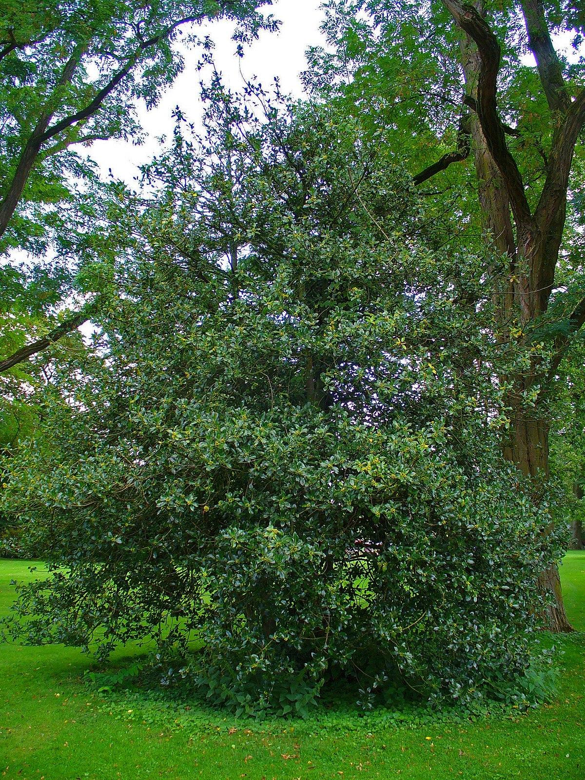 Ilex aquifolium  Wikipedia la enciclopedia libre
