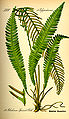Illustration Blechnum spicant0.jpg