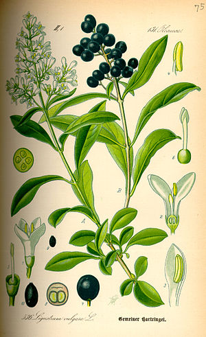 Traditional dyes of the Scottish Highlands - Ligustrum vulgare
