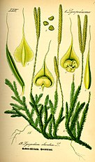 Illustration Lycopodium clavatum0.jpg