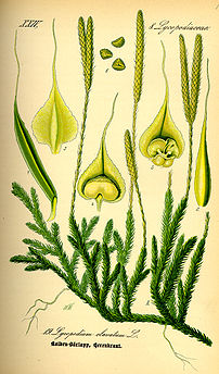 Illustration Lycopodium clavatum0.