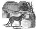 Illustrirte Zeitung (1843) 18 284 2 Ein Gepard aus Abyssinien.PNG