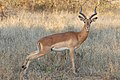 Impala male (9535913573).jpg