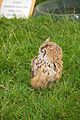 Indian Eagle Owl, Cheshire Game and Country Fair 2014.jpg