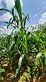 Indian Millet farm.jpg
