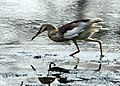Indian Pond Heron (Ardeola grayii) in Breeding plumage in action in Kolkata I IMG 7923.jpg