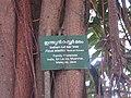 Indian Rubber Tree - ഇന്ത്യൻ റബ്ബർ മരം 05.JPG