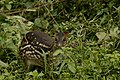 Indian Spotted Chevrotain (Moschiola indica).JPG