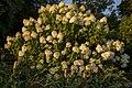 Innis Woods - Hydrangea paniculata in sunset 1.jpg