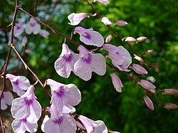 Ionopsis utricularioides - Flickr 005.jpg