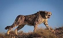 Asiatic cheetah - Wikipedia