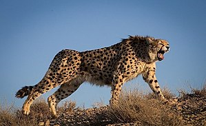 Asiatic cheetah - A cheetah in Iran