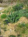 Iris aphylla foliage - Flickr - peganum (2).jpg