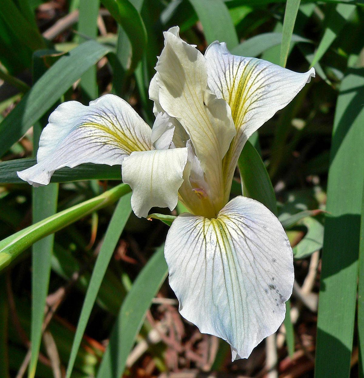 iris fernaldii