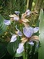 Iris foetidissima02.jpg