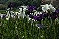 Iris in Ashimori 1.JPG