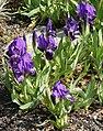 Iris subbiflora.jpg