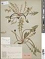 Isotype Taraxacum reichlingii.jpg