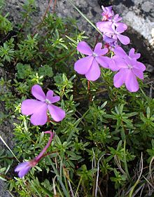 Viola Genre Vegetal Wikipedia