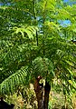 Jacaranda mimosifolia in Jardin des Plantes de Toulouse 03.jpg