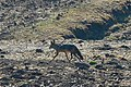 Jackal in Simien Mountain NP, Ethiopia.jpg