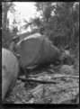 Jacking a kauri log, near Piha. ATLIB 286799.png