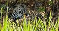 Jaguar (Panthera onca) female resting in the shade ... (48675768488).jpg