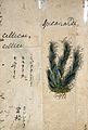 Japanese Herbal, 17th century Wellcome L0030119.jpg