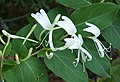 Japanese Honeysuckle - Lonicera japonica (38254902426).jpg