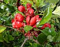 Japanese Quince (Chaenomeles japonica) at Stewarton.JPG
