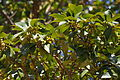 Japanese star anise (Illicium anisatum) - 16422903438.jpg