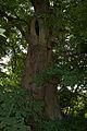Jasionów, drzewo.jpg