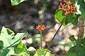 Jatropha podagrica 8zz.jpg