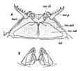 Jaws of Polyxenus lagurus EB1911.png