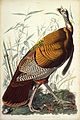 John James Audubon - Great American Cock (Wild Turkey).jpg