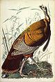 John James Audubon - Great American Cock (Wild Turkey).jpg