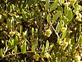 Jojoba Staminate Flowers - Flickr - treegrow (1).jpg